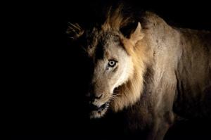 lion-darkness-chris-eason